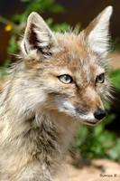 corsac fox 2 by n8eulchen