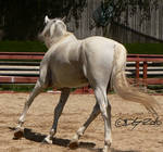 Andalusian Stallion - 7