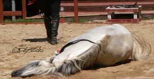 Andalusian Stallion - 36