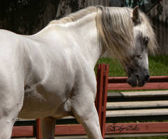 Andalusian Stallion - 45