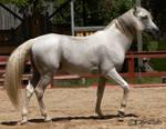 Andalusian Stallion - 48