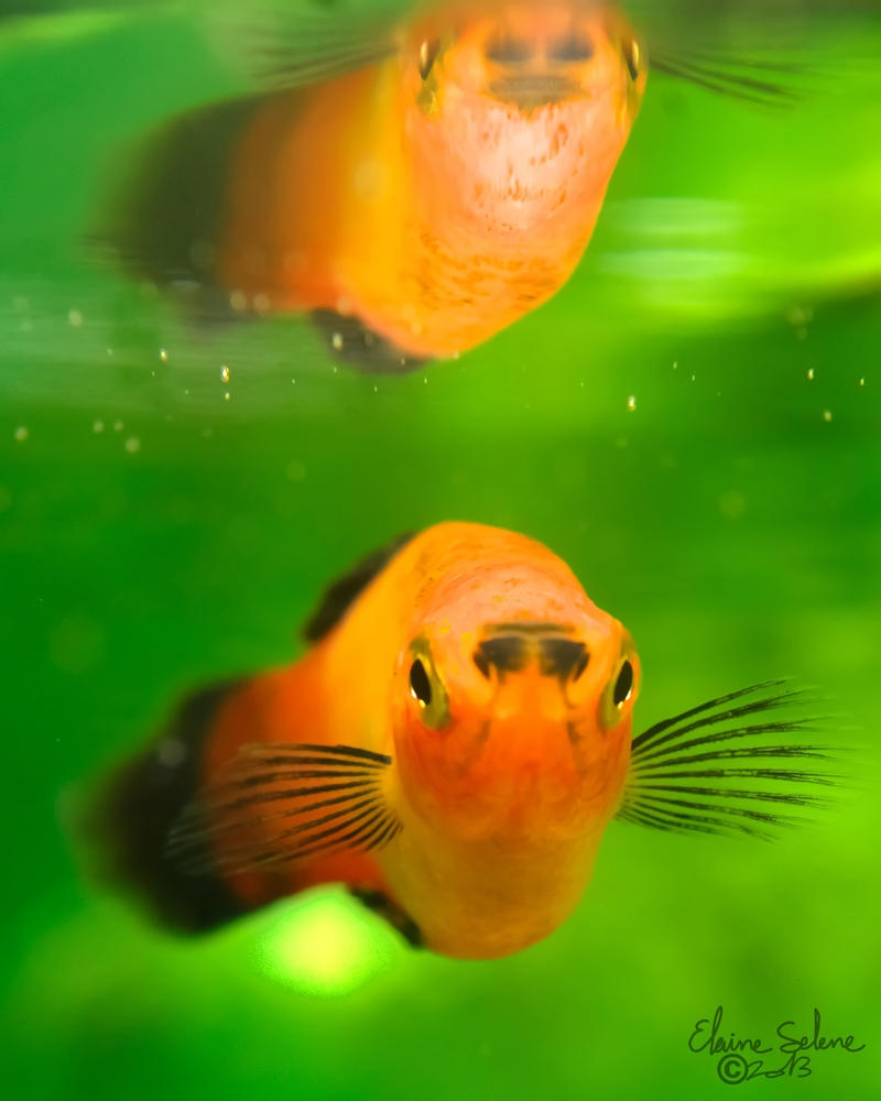 red_wag_swordtail___13_by_elaineselenest