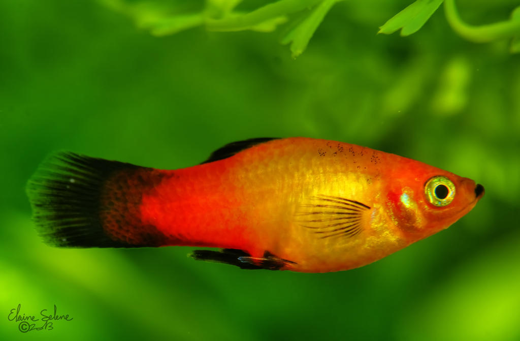 red_wag_swordtail___2_by_elaineselenesto