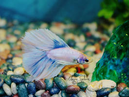Blue White Male Betta - 1 by ElaineSeleneStock