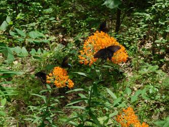 Hoosier National Forest - Butterflies