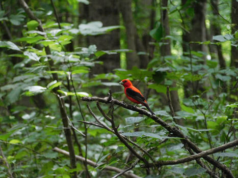 Hoosier National Forest - Scarlet Tanager
