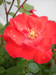 Red Bloom