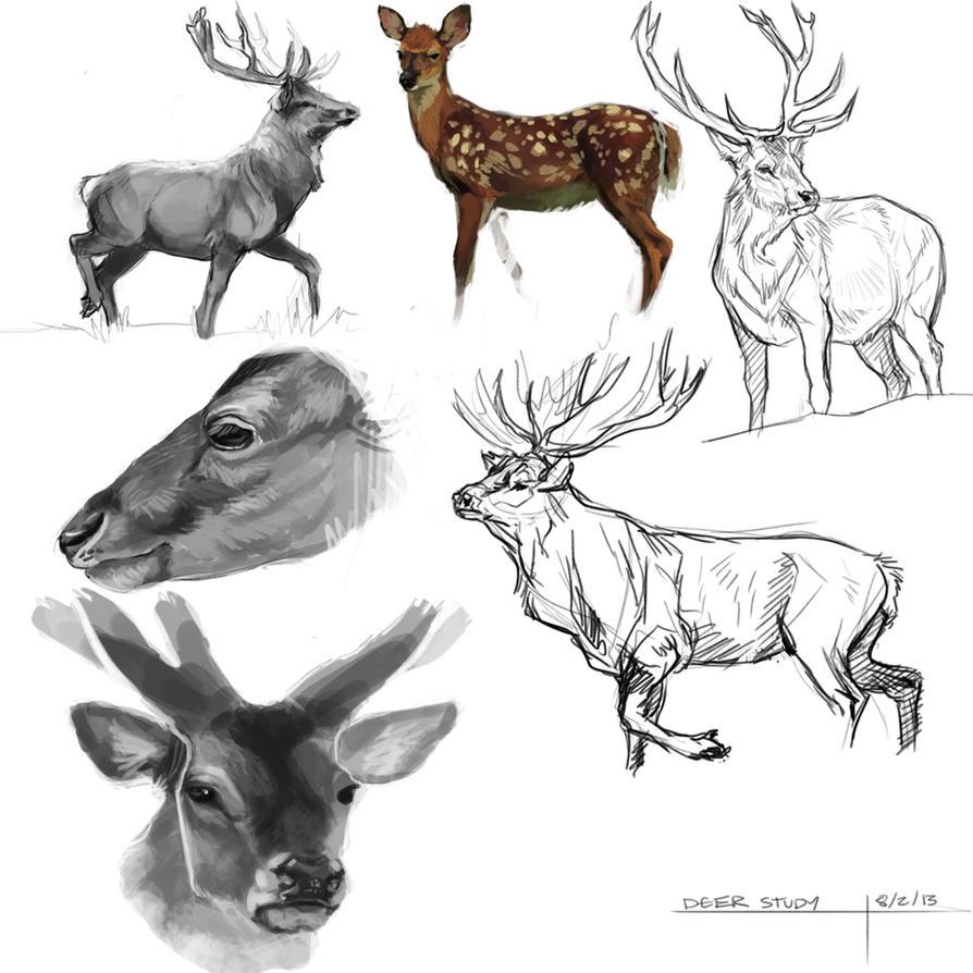 Deer Study by BearlyFeline