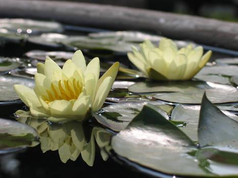 Water Lily (China)