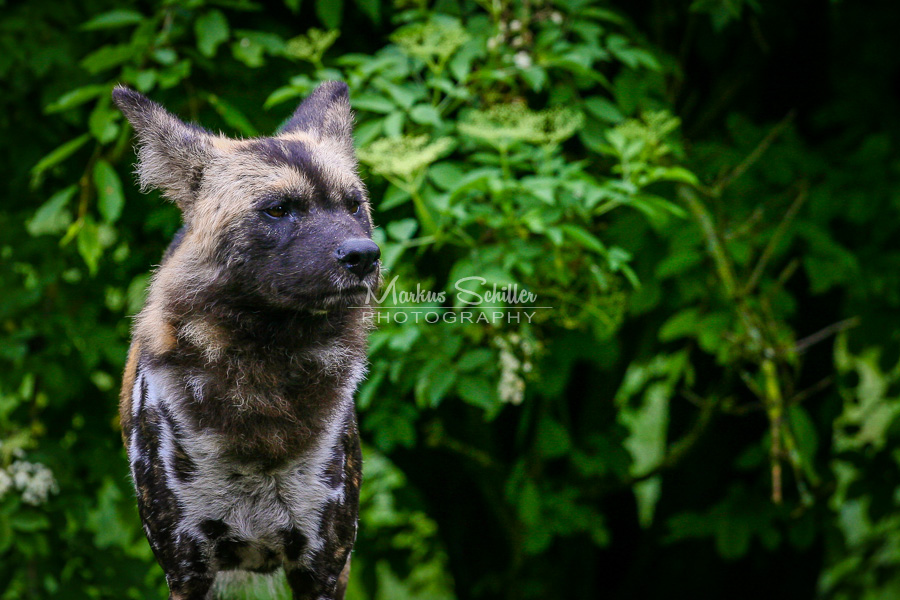 African Wild Dog 03 by spike83