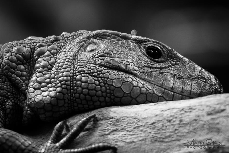 Caiman lizard enclosure - photo#19