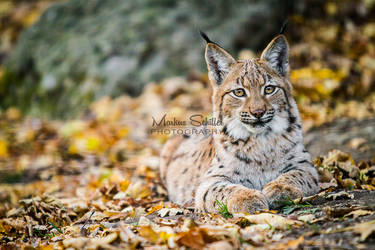 Young Lynx by spike83