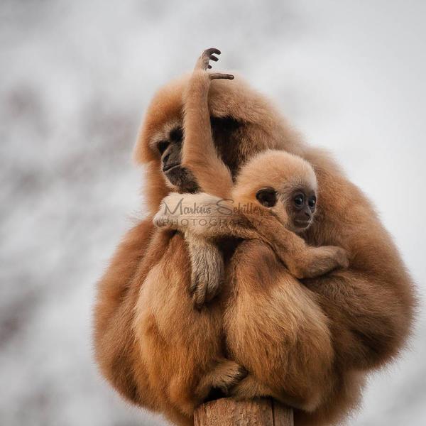 Gibbon Cuddle by spike83