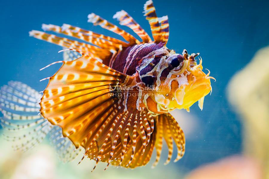 Broadbarred Firefish II by spike83