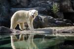 Poolar Bear by spike83
