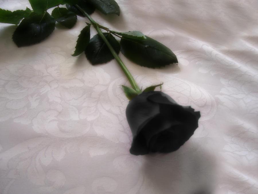 عکس گل رز مشکی