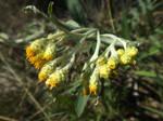 Dwarf everlast (Helichrysum arenarium)