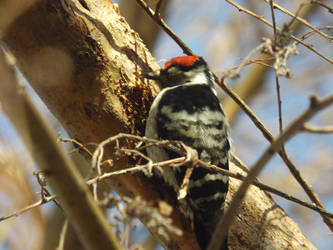 Lesser spotted woodpecker by mossagateturtle