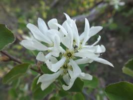 Snowy mespilus (Amelanchier ovalis) by mossagateturtle