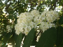 Rowan blossom by mossagateturtle