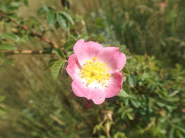 Sweetbriar rose (Rosa rubiginosa) by mossagateturtle