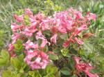 Rhododendron hirsutum by mossagateturtle