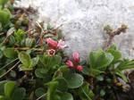 Loiseleuria procumbens by mossagateturtle