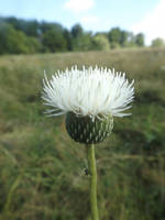 White thistle by mossagateturtle