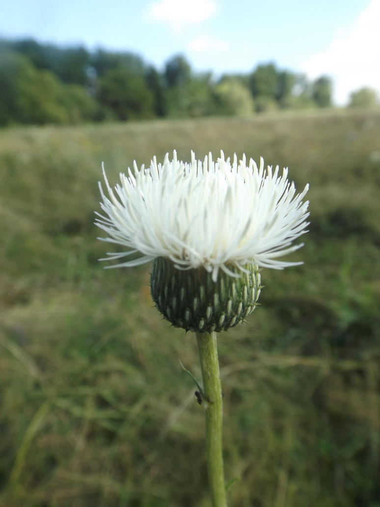 White Thistle By Mossagateturtle On Deviantart