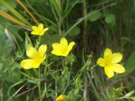 Yellow flax (Linum flavum) by mossagateturtle