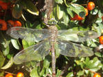 Lesser Emperor dragonfly
