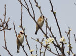 Spring goldfinches by mossagateturtle