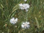 White Cornflowers by mossagateturtle