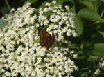Lover of the elder flower by mossagateturtle
