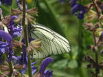 Bleck-veined White butterfly by mossagateturtle
