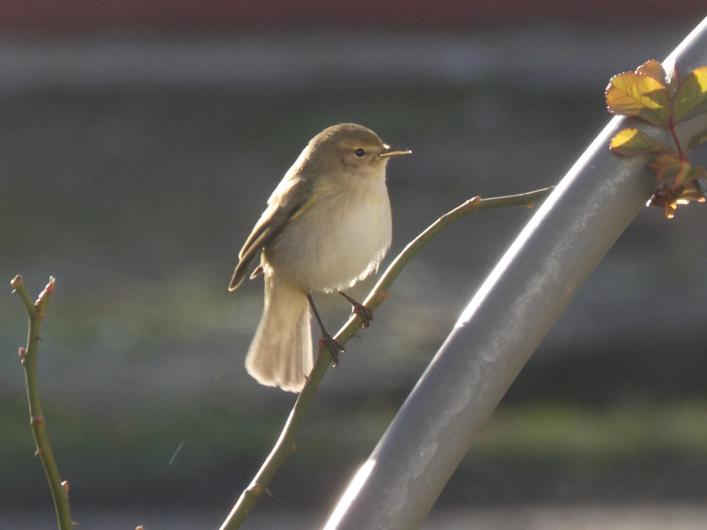 Wintering Chiffchaff by mossagateturtle