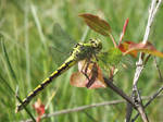 Green club-tailed dragonfly by mossagateturtle