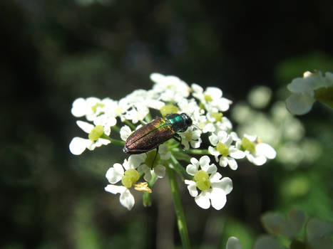 Cute jewel beetle