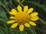 Golden Marguerite by mossagateturtle