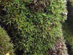 Syntrichia papillosa by mossagateturtle