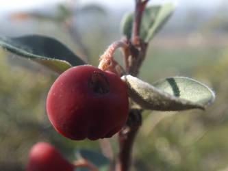 Pannonian cotoneaster by mossagateturtle
