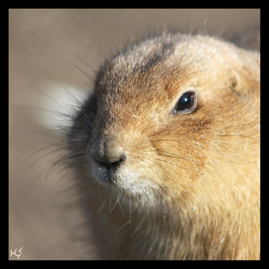 Prairie dog by Globaludodesign