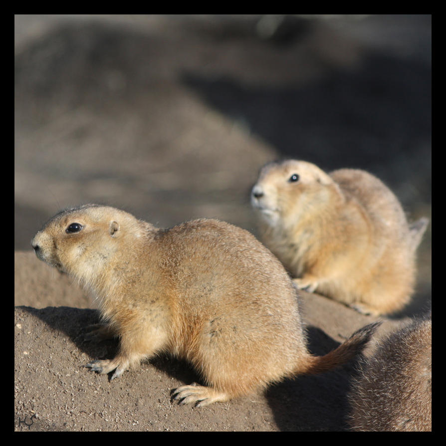 Prairiedogs by Globaludodesign