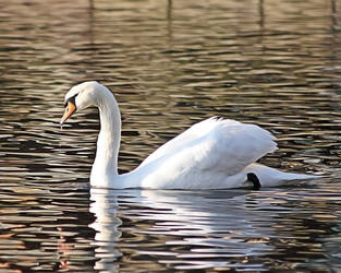 Swan by Globaludodesign