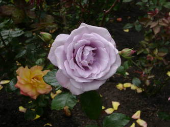 Rose Garden by CandlelightReminisce