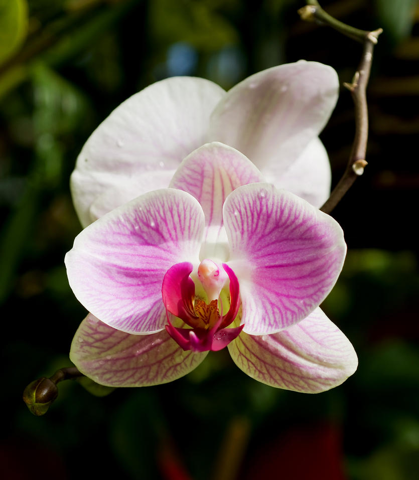 Orchid 1 by PaulWeber