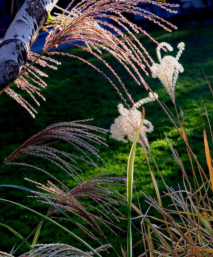 Grasses by PaulWeber