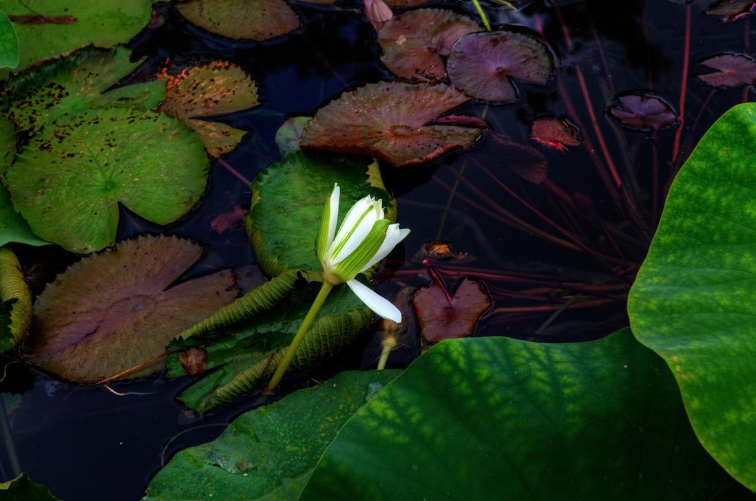 Water Lilies III by PaulWeber
