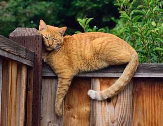 Fence-colored cat on a cat-colored fence