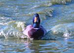 Motorized duck